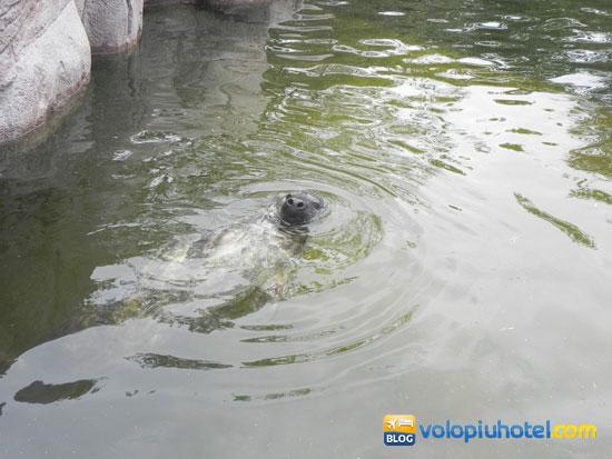 Le foche allo Skansen di Stoccolma