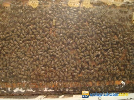 Api e comportamento in alveare al Bee Museum