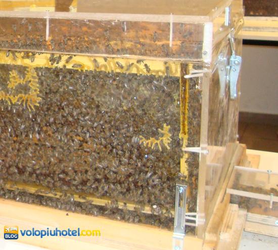 Teca con api all'interno al Bee Museum