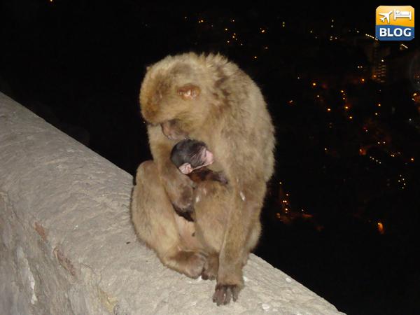 Macachi di Gibilterra