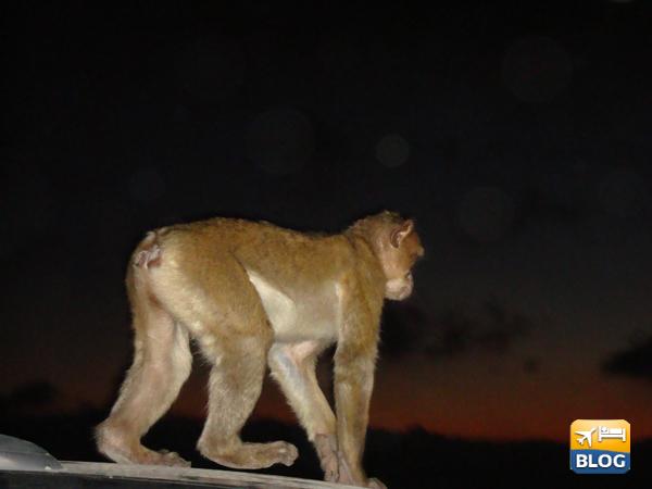 Macaco sulla rocca a Gibilterra