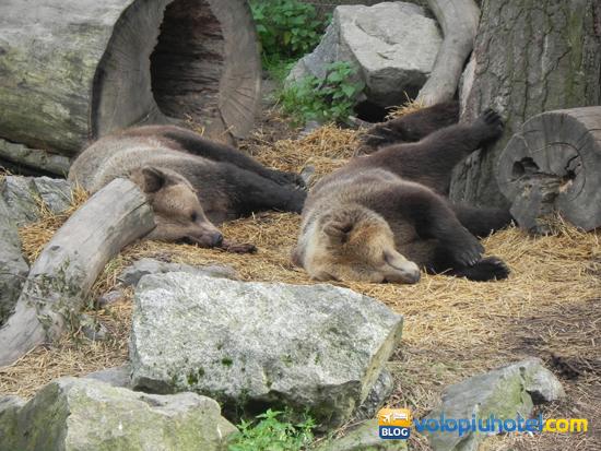 Orsi che riposano a Skansen a Stoccolma