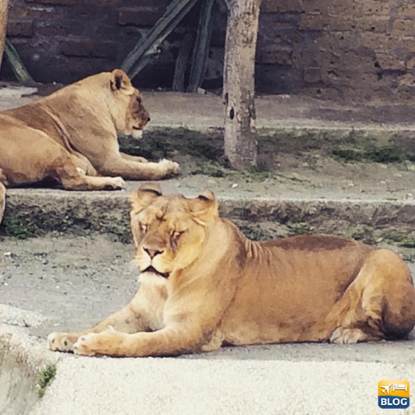 Leoni allo Zoo di Napoli
