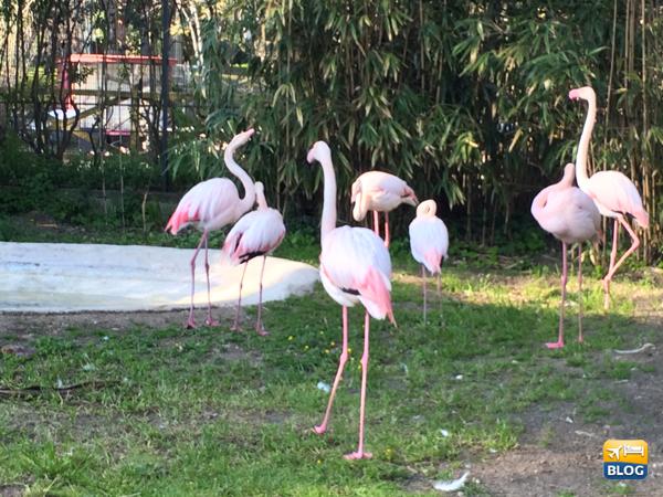 Fenicotteri Rosa allo Zoo di Napoli